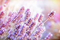 Soft focus on lavender flower Stock Image