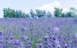 Soft focus on lavender flower, beautiful lavendere fiields. Royalty Free Stock Photos