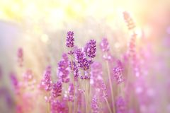 Soft focus on lavender flower. Lavender flowers lit by sunlight Stock Images