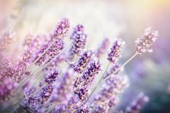 Soft focus on lavender flower, lavender flower lit by sunlight Royalty Free Stock Photography