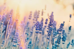 Soft focus on lavender flowers royalty free stock photo