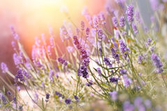Soft focus on lavender flowers in flower garden behind my home. Lavender flowers lit by sun rays stock photos