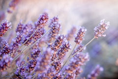 Soft focus on lavender flowers in flower garden, lavender flowers lit by sun rays Royalty Free Stock Photos