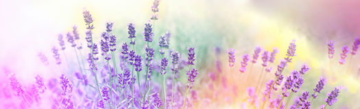 Soft focus on lavender flowers in flower garden Royalty Free Stock Photos