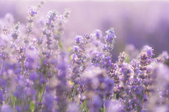 Soft focus of lavender flowers under the sunrise light.  stock images