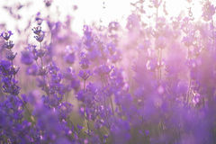 Soft focus of lavender flowers under the sunrise light. Beams stock images