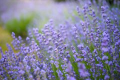 Soft focus of lavender flowers under the sunrise light. The Soft focus of lavender flowers under the sunrise light royalty free stock photos