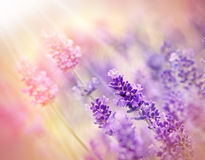 Soft focus on lavender with sunlight Royalty Free Stock Photography