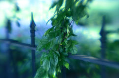 Soft focus leafy tree branches wrought iron fence gate Royalty Free Stock Image
