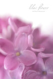 Soft focus lilac flower background with copy space. Stock Photos