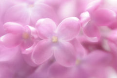 Soft focus lilac flower background. Stock Photography