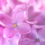 Soft focus lilac flower background. Royalty Free Stock Images