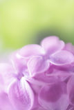 Soft focus lilac flower background. Royalty Free Stock Photo
