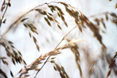 Soft Focus of Long Wild Grass Seed Heads Royalty Free Stock Images