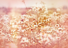 Soft focus on meadow daisy Stock Photos