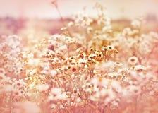 Soft focus on meadow daisy Stock Photos