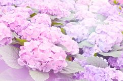 Soft focus ofl ight purple Hydrangea Flowers. Blooming in garden Royalty Free Stock Photo
