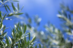 Soft focus Olive Leaf Leaves with blue sky background Stock Photography