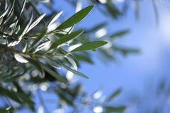 Soft focus Olive Leaf Leaves with blue sky background 2 Stock Photos