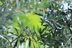 Soft Focus Olive Tree leaves with Green Background Stock Image