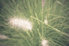 Soft focus Pennisetum: ornamental grass plumes / flowers background. In the garden Stock Photo