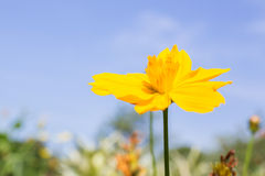Soft focus photo of beautiful blossom of yellow cosmos Stock Image