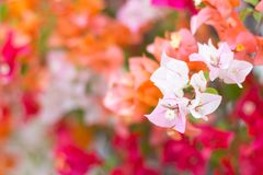 Soft focus of Pink Bougainvillea glabra Choisy flower with leaves Beautiful Paper Flower vintage in the garden. Soft focus of Pink Bougainvillea glabra Choisy Stock Photos