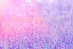 Free Soft Focus Pink Grass Flower With Drops Dew Pastel Color Filter Eff Royalty Free Stock Photography - 110673747