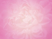 Free Soft Focus Pink Rose Flower, Valentine Abstract Nature Background Royalty Free Stock Photo - 76407135