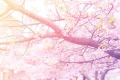 Soft focus pink sakura blooming Stock Image