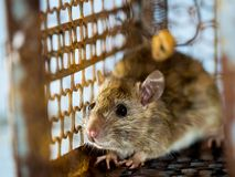 Soft focus of the rat in a cage catching a rat. the rat has contagion the disease to humans such as Leptospirosis, Plague. Homes. And dwellings should not have Stock Photos