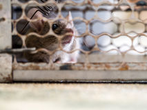 Soft focus of the rat was in a cage catching a rat. the rat has contagion the disease to humans.Homes and dwellings should not ha. Soft focus of the rat was in a Stock Images