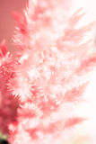 Soft focus red cockscomb flower blooming(Celosia cristata) background Royalty Free Stock Images
