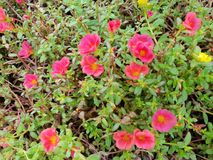 Soft Focus of red Common Purslane or Verdolaga flower on blurred branch and leaves. Soft Focus of red Common Purslane or Verdolaga flower on blurred branch and royalty free stock photo