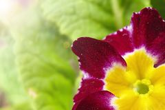 Soft focus. red with yellow violet flowers close up.  royalty free stock image