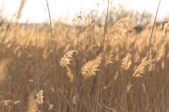 Soft focus of reeds stalks blowing in the wind at golden sunset light. Sun rays shining through dry reed grasses in sunny weather.  stock photos