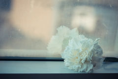 Soft focus and retro tone for a Carnation of white color  in mirror background. Royalty Free Stock Image