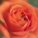 Soft focus rose Stock Photo