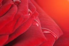 Soft focus rose flower background. Stock Images