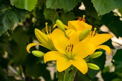 Yellow lily flower Soft focus Shallow photography. Soft focus Shallow photography of yellow lily flower Stock Images
