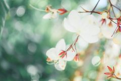Soft focus small white flower with bokeh background Stock Photography