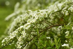 Soft focus. Spirea is an ornamental shrub from the Rosaceae family.  royalty free stock image