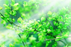 Soft focus on spring leaves Stock Photos