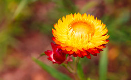 Soft focus straw flower or Everlasting for blur background in ga Stock Photography