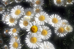 Soft focus Summer daisies Stock Photography