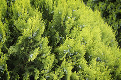 Soft focus thuja background Royalty Free Stock Images