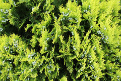 Soft focus thuja background Royalty Free Stock Image