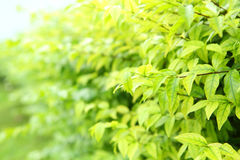 Soft focus to The green soft leaves Royalty Free Stock Images