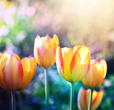 Soft focus tulips flower in bloom. Stock Photos