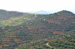 Soft focus of view from far replanting oil palm tree at the hill Stock Image